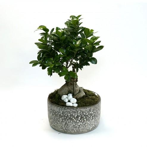 Ficus Ginseng - Livraison fleurs Marseille