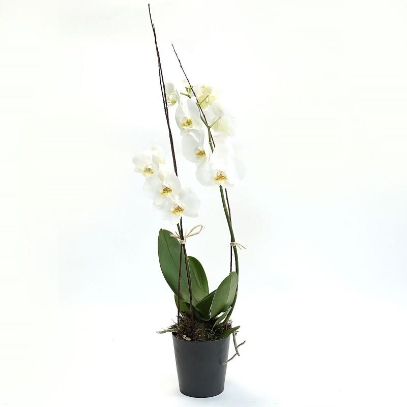 Orchidée par votre Fleuriste à Marseille