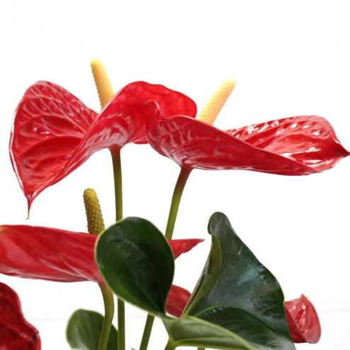 Anthurium par votre fleuriste à Marseille
