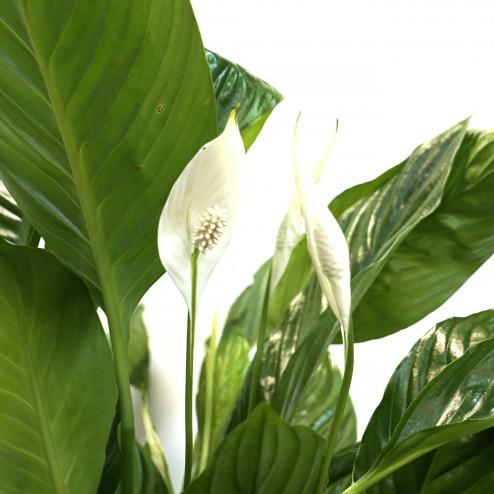 Spathiphyllum par votre fleuriste à Marseille